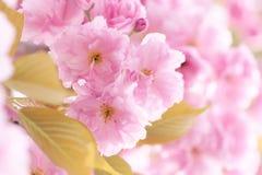 Ασιατικά λουλούδια κερασιών Στοκ εικόνες με δικαίωμα ελεύθερης χρήσης