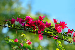 Ασιατικά λουλούδια, υπόβαθρο χλόης μουτζουρωμένο, άσπρο Bougainvillea Glab Στοκ εικόνες με δικαίωμα ελεύθερης χρήσης