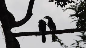 Ασιατικά παρδαλά hornbills απόθεμα βίντεο