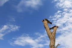 Ασιατικά παρδαλά πουλιά ψαρονιών αγιοπουλιών (Gracupica ενάντιο) που σκαρφαλώνουν στο Δρ στοκ φωτογραφία