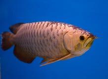 Ασιατικά χρυσά ψάρια Arowana Στοκ φωτογραφίες με δικαίωμα ελεύθερης χρήσης