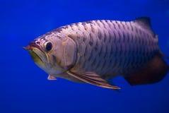 Ασιατικά χρυσά ψάρια Arowana Στοκ Φωτογραφίες