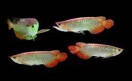 Ασιατικά ψάρια Arowana στη μαύρη ανασκόπηση Στοκ Εικόνα