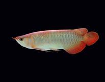 ασιατικά ψάρια arowana Στοκ Φωτογραφία