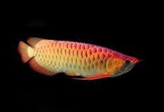 Ασιατικά ψάρια Arowana Στοκ εικόνες με δικαίωμα ελεύθερης χρήσης