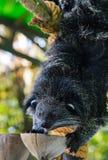 Ασιατικά Bearcat - Arctictis Binturong Στοκ Εικόνα