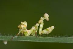 ασιατικά mantis λουλουδιών στοκ φωτογραφίες