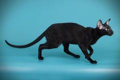 Ασιατική γάτα στα χρωματισμένα υπόβαθρα Στοκ φωτογραφία με δικαίωμα ελεύθερης χρήσης