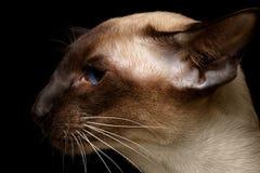 Ασιατική γάτα Shorthair σχεδιαγράμματος στοκ εικόνες