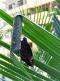 Ασιατική γιγαντιαία πεταλούδα Redeye Στοκ εικόνα με δικαίωμα ελεύθερης χρήσης