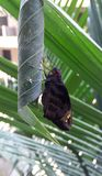 Ασιατική γιγαντιαία πεταλούδα Redeye Στοκ φωτογραφίες με δικαίωμα ελεύθερης χρήσης