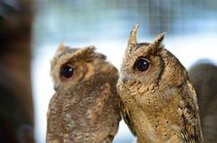 Ασιατική κουκουβάγια Scops Στοκ Εικόνα
