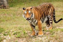 ασιατική μεγάλη τίγρη Στοκ φωτογραφία με δικαίωμα ελεύθερης χρήσης