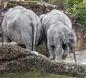 Ασιατική οικογένεια ελεφάντων Στοκ εικόνα με δικαίωμα ελεύθερης χρήσης