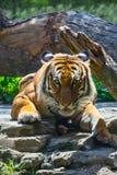 ασιατική τίγρη Στοκ εικόνες με δικαίωμα ελεύθερης χρήσης