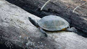 ασιατική χελώνα φύλλων φιλμ μικρού μήκους