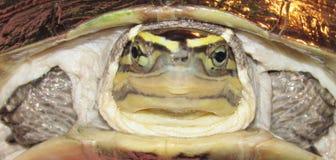 ασιατική χελώνα κιβωτίων Στοκ εικόνες με δικαίωμα ελεύθερης χρήσης