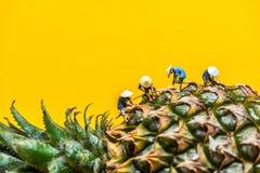 Ασιατικοί αγρότες που συγκομίζουν στη φυτεία ανανά Στοκ Εικόνες