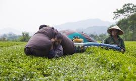 Ασιατικοί αγρότες τσαγιού που συγκομίζουν τα φύλλα τσαγιού Στοκ Εικόνα