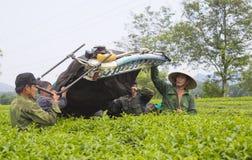 Ασιατικοί αγρότες τσαγιού που συγκομίζουν τα φύλλα τσαγιού Στοκ εικόνα με δικαίωμα ελεύθερης χρήσης