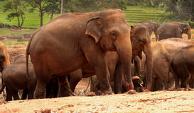 ασιατικοί ελέφαντες Στοκ Εικόνα