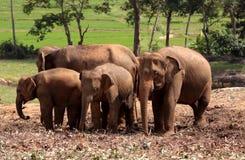 ασιατικοί ελέφαντες Στοκ Φωτογραφίες