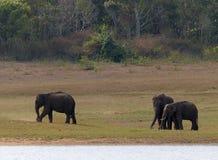 ασιατικοί ελέφαντες Στοκ φωτογραφίες με δικαίωμα ελεύθερης χρήσης