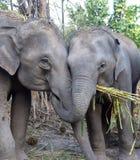 ασιατικοί ελέφαντες Στοκ Εικόνες