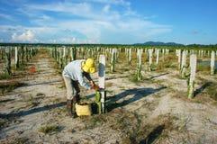 Ασιατικός αγρότης, αγρόκτημα γεωργίας, φρούτα δράκων Στοκ Εικόνες