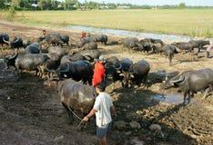 Ασιατικός αγρότης, βοσκή, βούβαλοι Στοκ Εικόνες