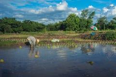 Ασιατικός αγρότης που εργάζεται στον τομέα ρυζιού στοκ φωτογραφία με δικαίωμα ελεύθερης χρήσης