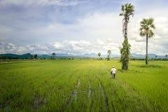 Ασιατικός αγρότης που περπατά στον τομέα ρυζιού στοκ εικόνες
