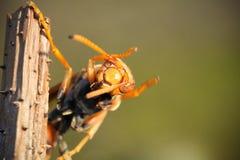 Ασιατικός γίγαντας hornet Στοκ φωτογραφία με δικαίωμα ελεύθερης χρήσης