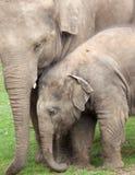ασιατικός ελέφαντας μόσχ&om Στοκ Φωτογραφίες