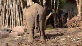Ασιατικός ελέφαντας που ταλαντεύεται γύρω, ασιατικός ελέφαντας από πίσω από την ταλάντευση, διακυβευμένο ζωικό specie από την Ινδ φιλμ μικρού μήκους
