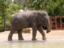 ασιατικός ελέφαντας Στοκ φωτογραφία με δικαίωμα ελεύθερης χρήσης