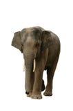 ασιατικός ελέφαντας Στοκ Φωτογραφία