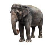 ασιατικός ελέφαντας Στοκ Εικόνες