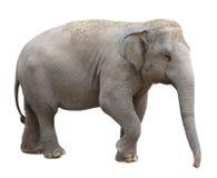 Ασιατικός ελέφαντας Στοκ Εικόνα