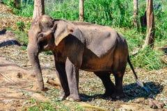 Ασιατικός ελέφαντας κοντά σε Chiang Mai, Ταϊλάνδη Στοκ Φωτογραφία