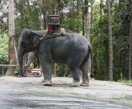 Ασιατικός ελέφαντας με το ελεφαντόδοντο Στοκ Εικόνα