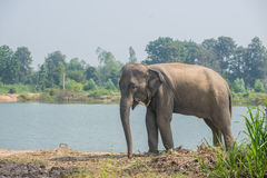 Ασιατικός ελέφαντας στο δάσος, surin, Ταϊλάνδη στοκ εικόνα