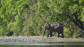 Ασιατικός ελέφαντας στο εθνικό πάρκο Bardia, Νεπάλ Στοκ Εικόνες