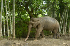 ασιατικός ελέφαντας Στοκ εικόνα με δικαίωμα ελεύθερης χρήσης