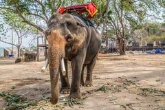 Ασιατικός ελέφαντας Στοκ εικόνες με δικαίωμα ελεύθερης χρήσης