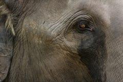 ασιατικός ελέφαντας Στοκ φωτογραφίες με δικαίωμα ελεύθερης χρήσης