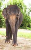 Ασιατικός ελέφαντας portret Στοκ Φωτογραφία