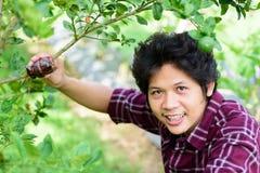 Ασιατικός νέος αγρότης που μπολιάζει στο δέντρο ασβέστη Στοκ Εικόνες