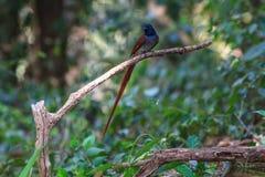 Ασιατικός παράδεισος flycatcher που σκαρφαλώνει σε έναν κλάδο Στοκ Εικόνες