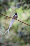 Ασιατικός παράδεισος flycatcher που σκαρφαλώνει σε έναν κλάδο Στοκ εικόνες με δικαίωμα ελεύθερης χρήσης